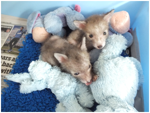 foxcubs2summer15.jpg